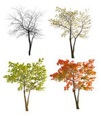 Four seasons maple tree isoalted on white — Stock Photo