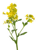 Yellow wild mustard flowers on white — Stock Photo
