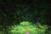 Path in dark green fir forest — Stock Photo