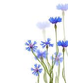 Blue chicory flowers on white — Stock Photo