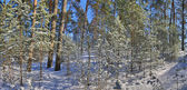 Snö pine forest panorama — Stockfoto