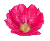 Pink mallow flower on white — Stock Photo