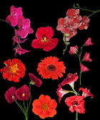 Set of nine red color flowers isolated on black — Stok fotoğraf