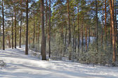 Landscape with snow pineand fir forest — Stock Photo