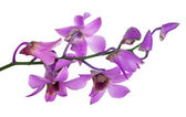 Pink orchid flowers with purple centers — Stock Photo