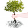 Green tree with root in human hand — 图库照片