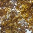 Fall brightgold foliage background — Stock Photo
