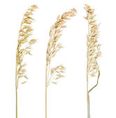 Dry oat isolated collection — Stock Photo