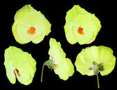 Yellow pansy flower from different sides — Stok fotoğraf