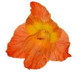 Single bright orange gladiolus flower isolated on white — Stock Photo