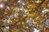 Fall brightgold foliage background — Stock Photo