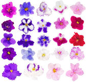 Set of twenty four isolated violets — Stock Photo