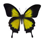 Isolated yellow butterfly close-up — Foto Stock