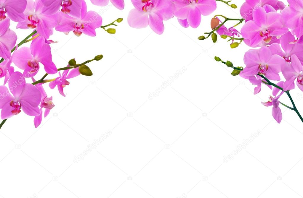 White And Pink Orchid Flowers Light Pink Orchid Flowers Isolated on White Background Photo by dr Pas