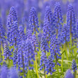 Blue and green muscari blossom background — Stock Photo