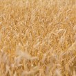 Ripe ears of wheat field background — Stok fotoğraf
