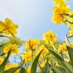 Yellow tulips growing to sky — Stock Photo #34917119