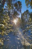 Sun in snow pine forest — Stock Photo