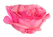 Pink rose single flower isolated on white — Stock Photo