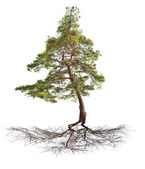 Green single pine with root isolated on white — Stock Photo