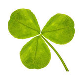 Trefoil clover leaf on white — Stock Photo