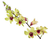 Light yellow orchid flowers with purple centers — Stock Photo