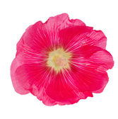 Pink mallow flower isolated on white — Stock Photo