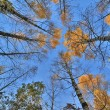 Fall birches on blue sky background — Stock Photo #36749005