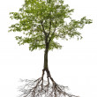 Single green linden tree with root — Stock Photo #36749023
