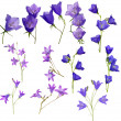 Large set of campanula flowers isolated on white — Stock Photo #36747689