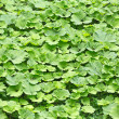 Background from lot of burdock leaves — Stock Photo