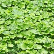 Green burdock leaves background — Stock Photo