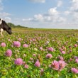 Cow on pink clover flowers meadow — Stock Photo