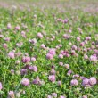 Pink and green clover meadow — Photo
