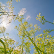 Milfoil grow to blue sky — ストック写真