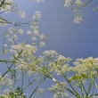 Milfoil on blue sky background — Stock Photo