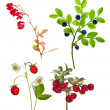 Four forest berry branches isolated on white — Stock Photo