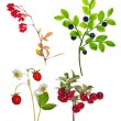 Four forest berry branches isolated on white — Stock Photo #36748271