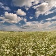 Meadow with white flowers and blue sky — Stock Photo