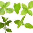 Isolated set of green mint branches — Stock Photo