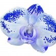 Single blue orchid in dark spots on white — Stock Photo