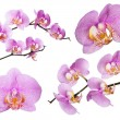 Pink orchids with lot of dots isolated colection — Stock Photo