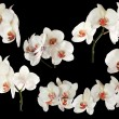 Stock Photo: White orchids with red centers collection on black
