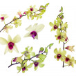 Stock Photo: Set of yellow orchid flowers with purple centers