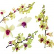 Set of yellow orchid flowers with purple centers — Stock Photo #36748779