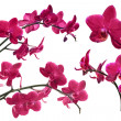 Dark red orchid flowers collection isolated on white — Stock Photo