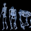 Stock Photo: Set of three skeletons isolated on black