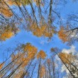 Gold autumn trees grow to blue sky — Stock Photo