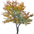 Multi color autumn tree isolated on white — Stock Photo