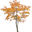 Постер, плакат: Bright isolated orange maple tree